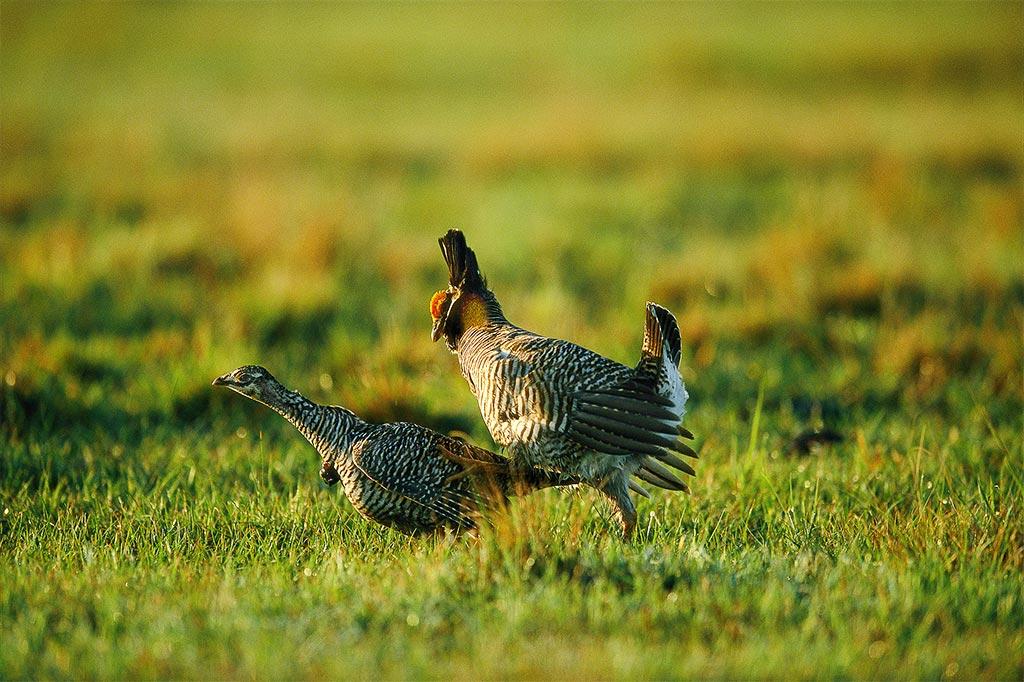 attwater u2019s prairie chicken  u2013 fossil rim wildlife center