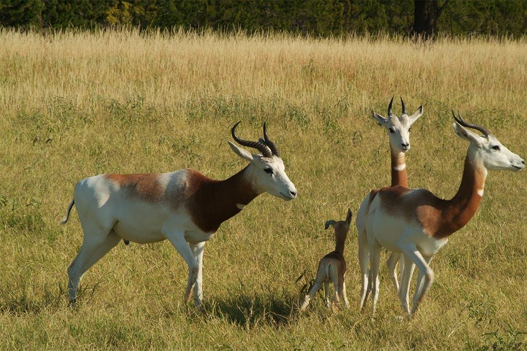 addra gazelle  u2013 fossil rim wildlife center