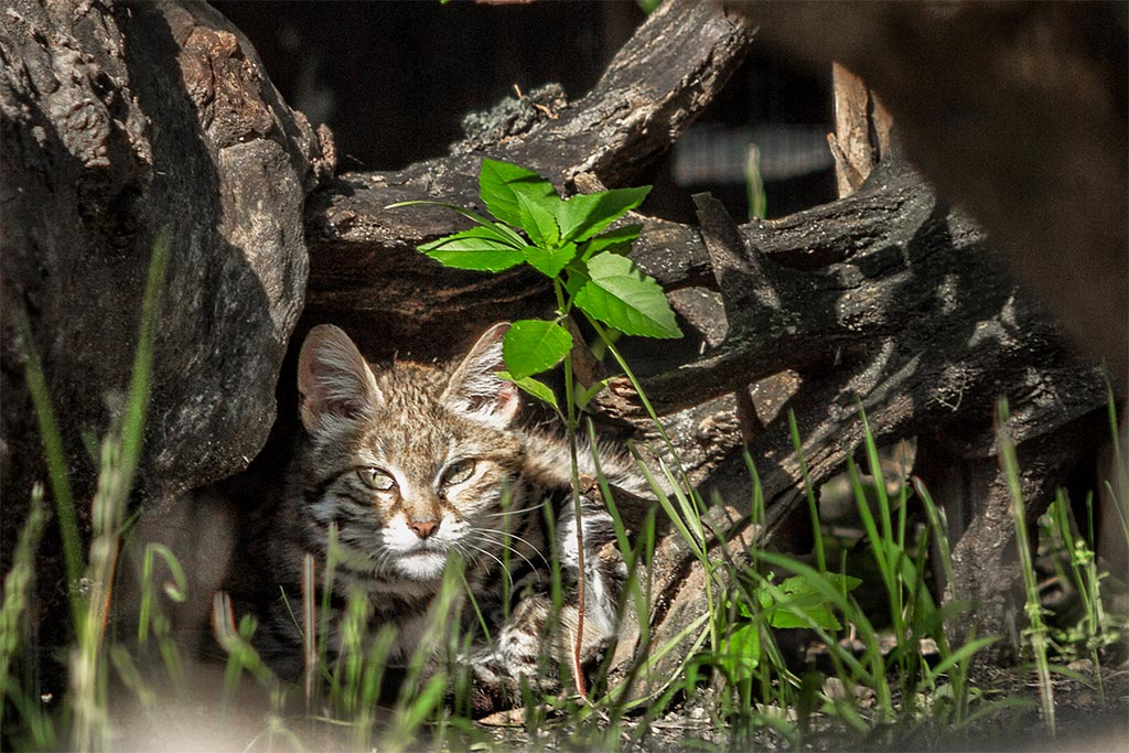 Scientific Name Of The Black Footed Cat