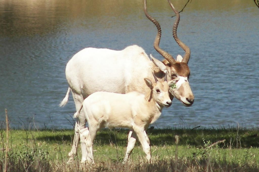 addax  u2013 fossil rim wildlife center