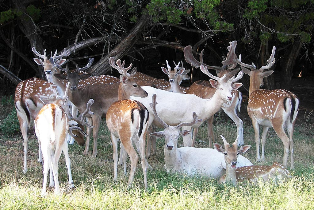 fallow deer fossil rim wildlife center