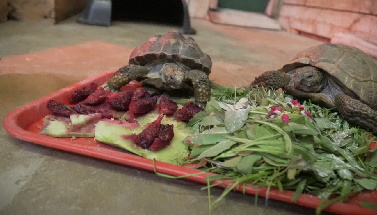 Looking deeper into African spurred tortoise diet – Fossil Rim