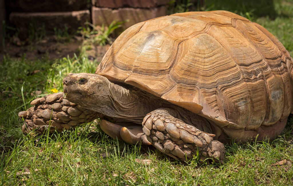 AS Tortoise