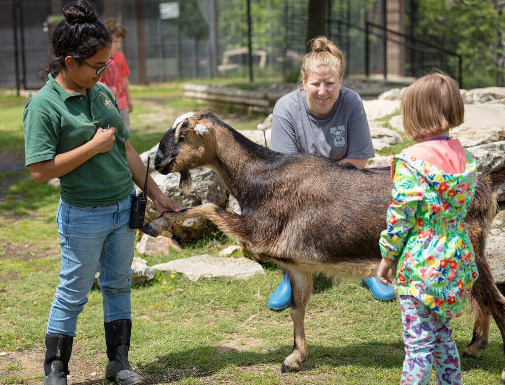 LaMancha goat to cover goats roaming
