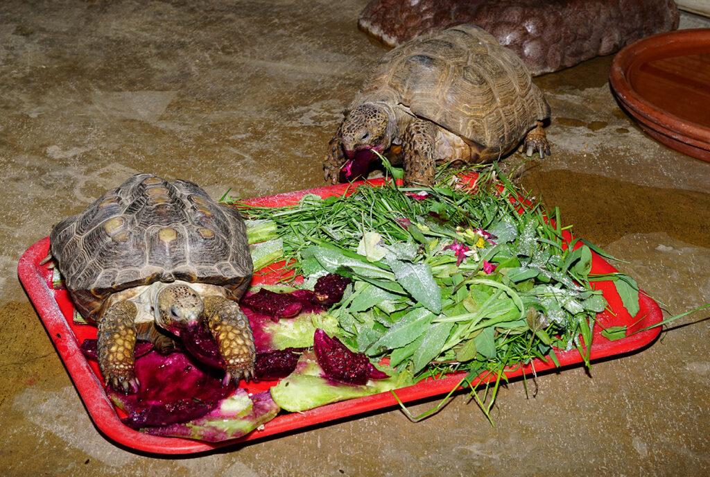 texas tortoise to cover tortoise diet